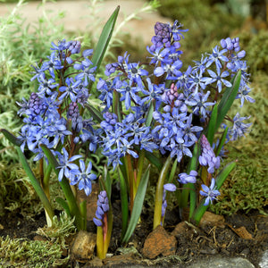 products/Scilla_bifolia_blue_Large_Square.ibulb.jpg