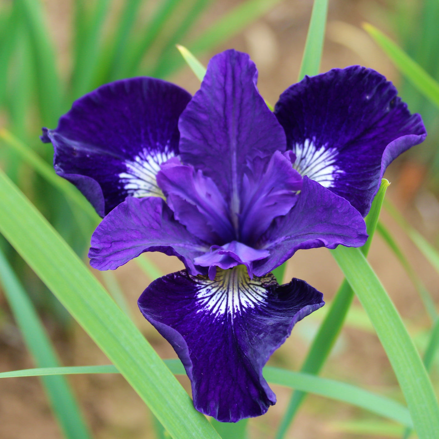 Siberian iris blue king easy to grow bulbs siberian iris blue king izmirmasajfo Choice Image