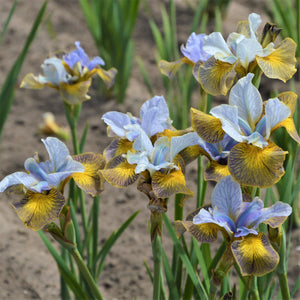 products/Siberian_Iris_Peacock_Butterfly_Uncorked.GC.jpg