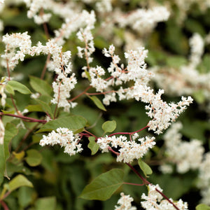 products/Silver_Lace_Vine_Polygonum_717320422.SHUT.jpg