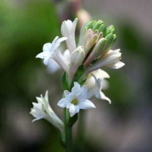 products/Single_Form_White_Tuberose_2_.SHUT_1de45ad0-40bf-4f8c-baee-82225c9b0a48.jpg