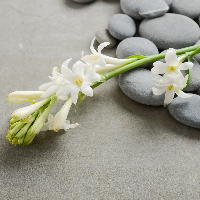 Tuberose, Single Flower Form (3 bulbs)