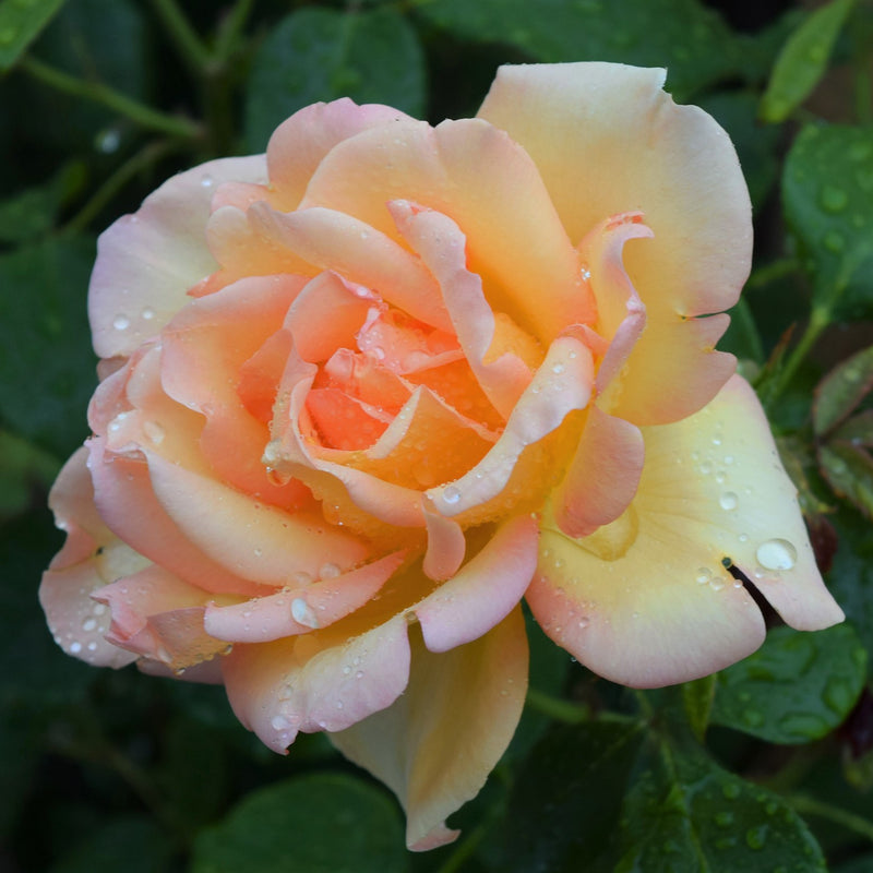 Smooth Touch® Rose Angel