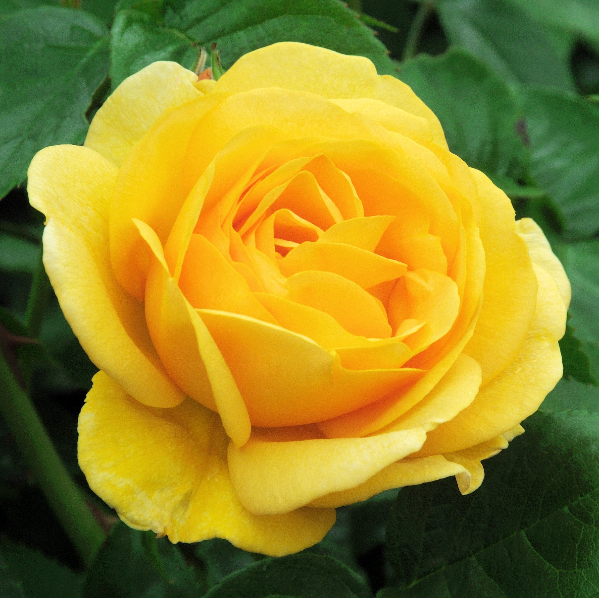 Smooth Touch 174 Rose Buttercup Easy To Grow Bulbs