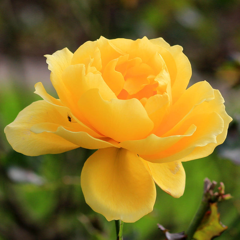 Smooth Touch Rose Buttercup
