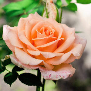 Smooth Touch Rose Satin