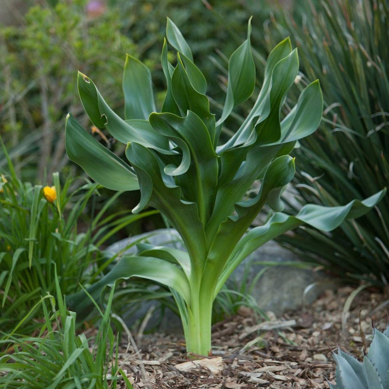 Petite Giant Squill  (3 Pack)