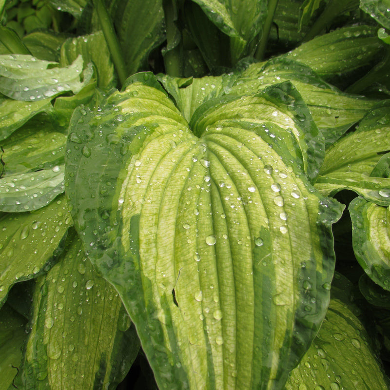 Hosta stained glass plant