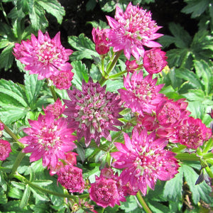 Multiple Pink Star of Beauty Astrantia