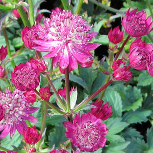 Beautiful Pink Astrantia Star of Fire