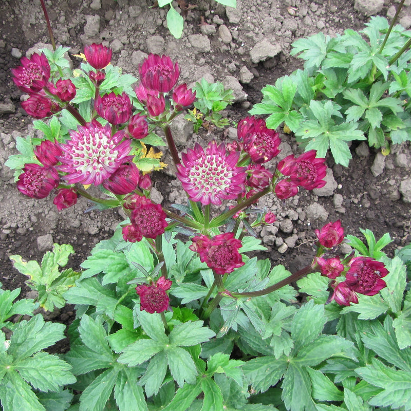 Star of fire Astrantia in a garden
