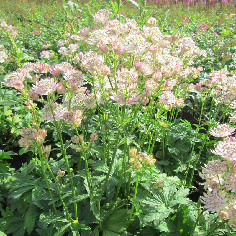 Astrantia Star of Royals