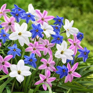 Wish Upon Starflower Mix