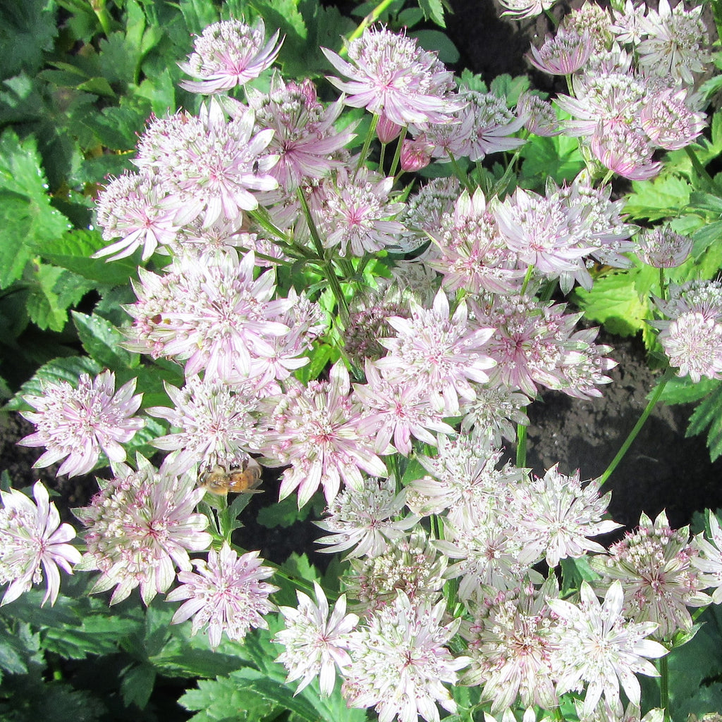 Astrantia Star of Billions