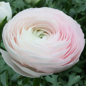 Italian Ranunculus Cloni™ Success Hanoi