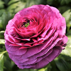 Italian Ranunculus Success Renoir