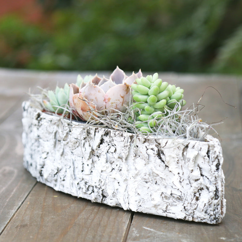 Succulent houseplant gift - white birch boat