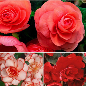 Close Up Sultry Summer Shade Collection Begonias