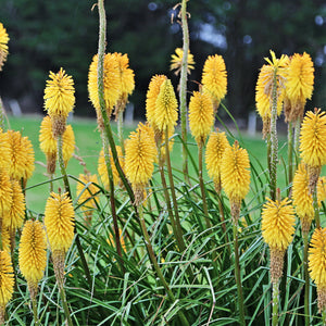 Kniphofia Sunningdale Yellow - Red Hot Pokers