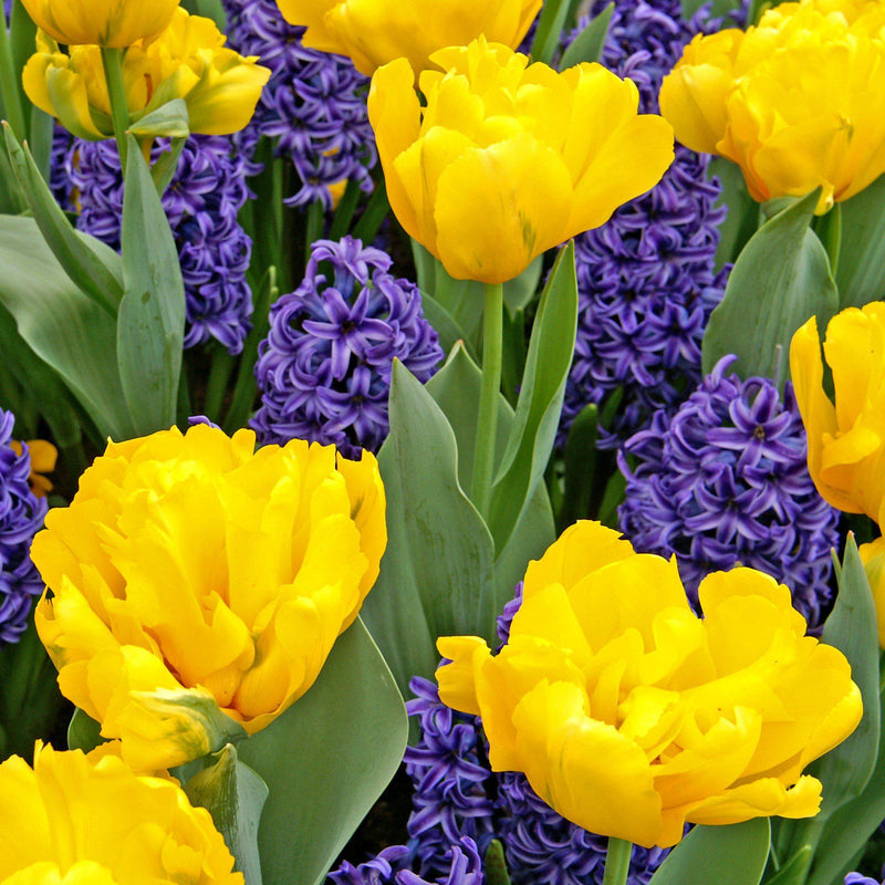 Yellow double tulips and blue hyacinths