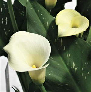 Calla speckled white flowers