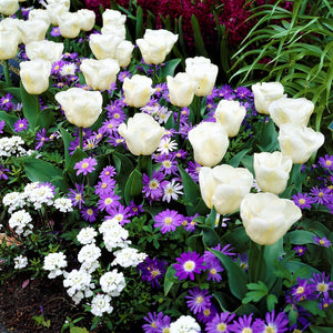 White Tulips and Blue Anemones