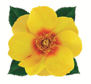 Sweet Spot Yellow Decorator Rose