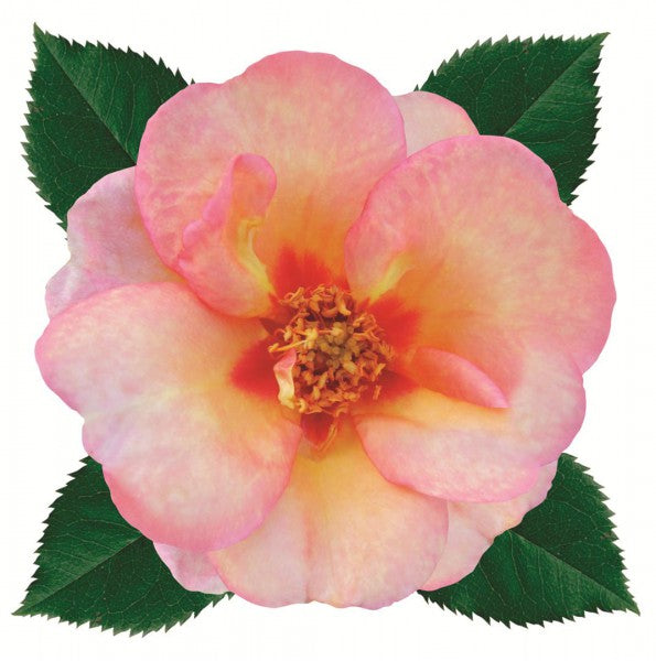 Sweet Spot Peach Decorator Rose