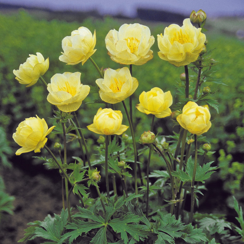 Trollius x Cultorum New Moon