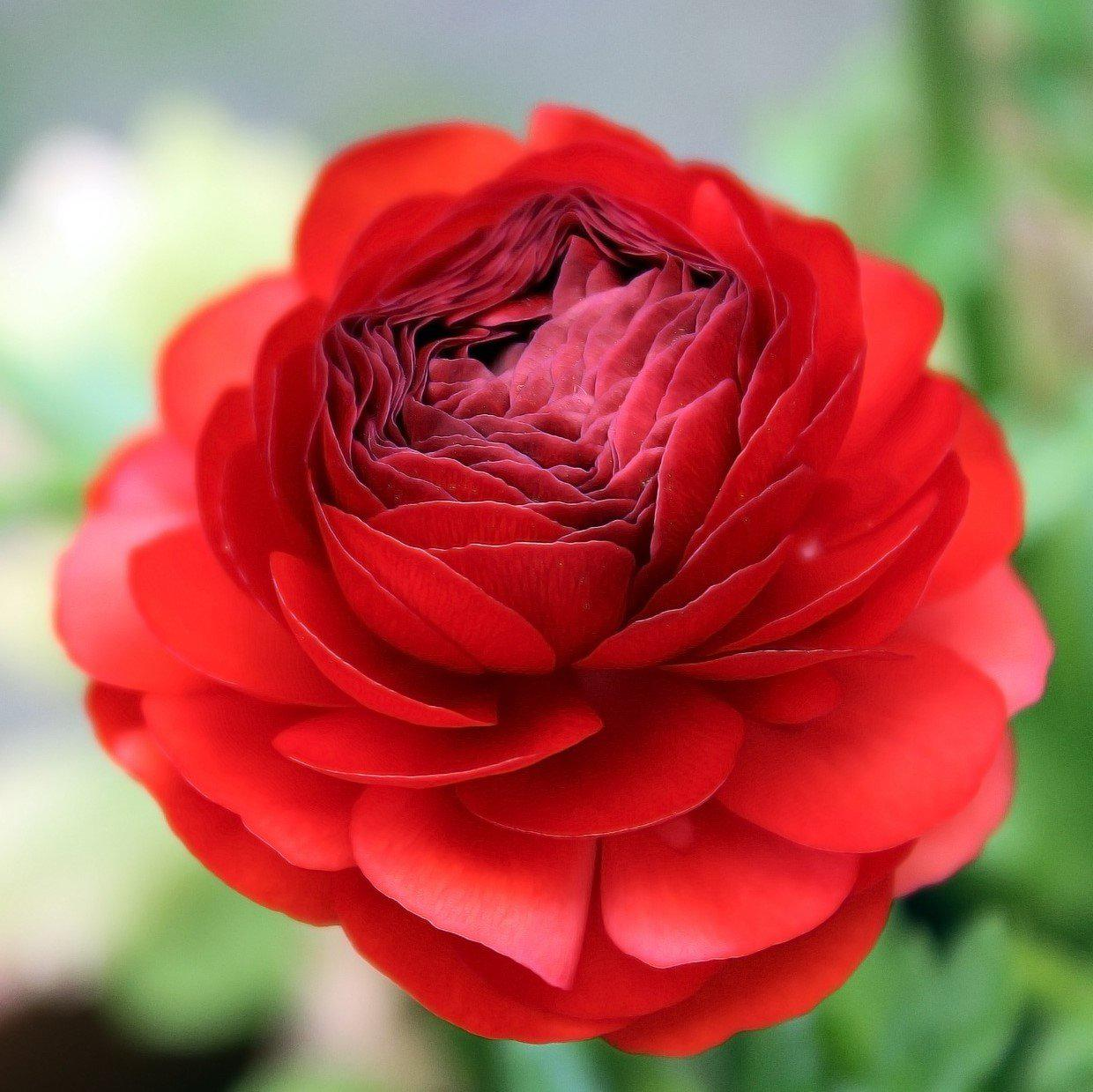 Red Ranunculus Bulbs For Sale Easy To Grow Bulbs