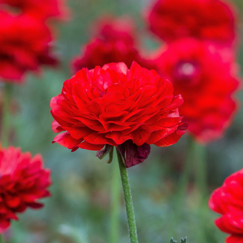 Tecolote Ranunculus Red Flowers