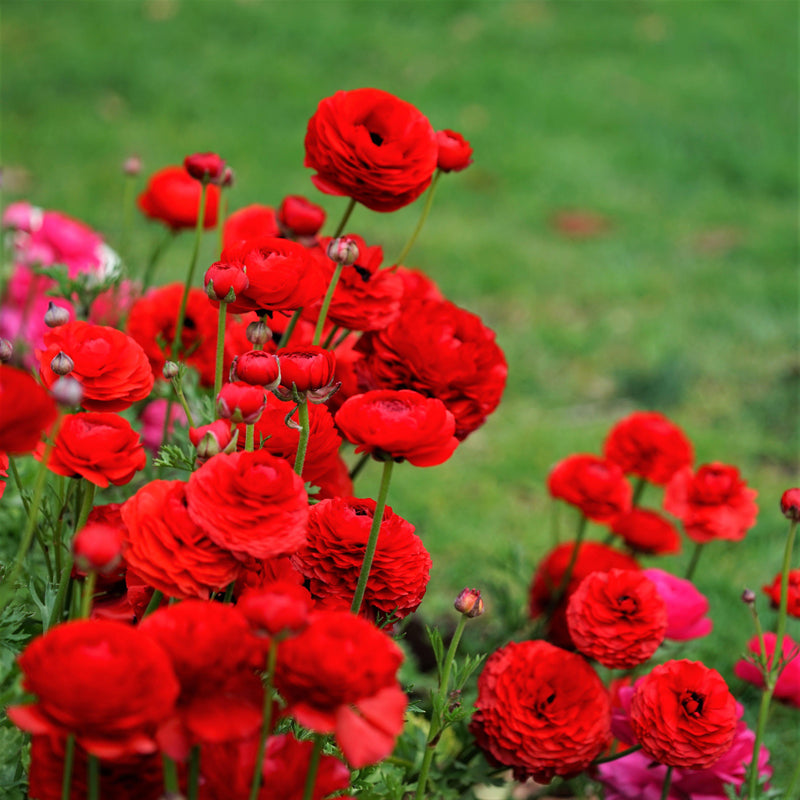 Red Ranunculus in Garden