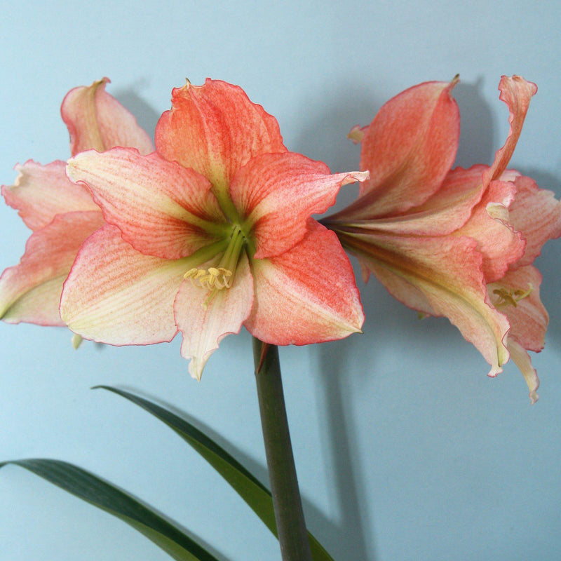 Flowers of Amaryllis Tinkerbell