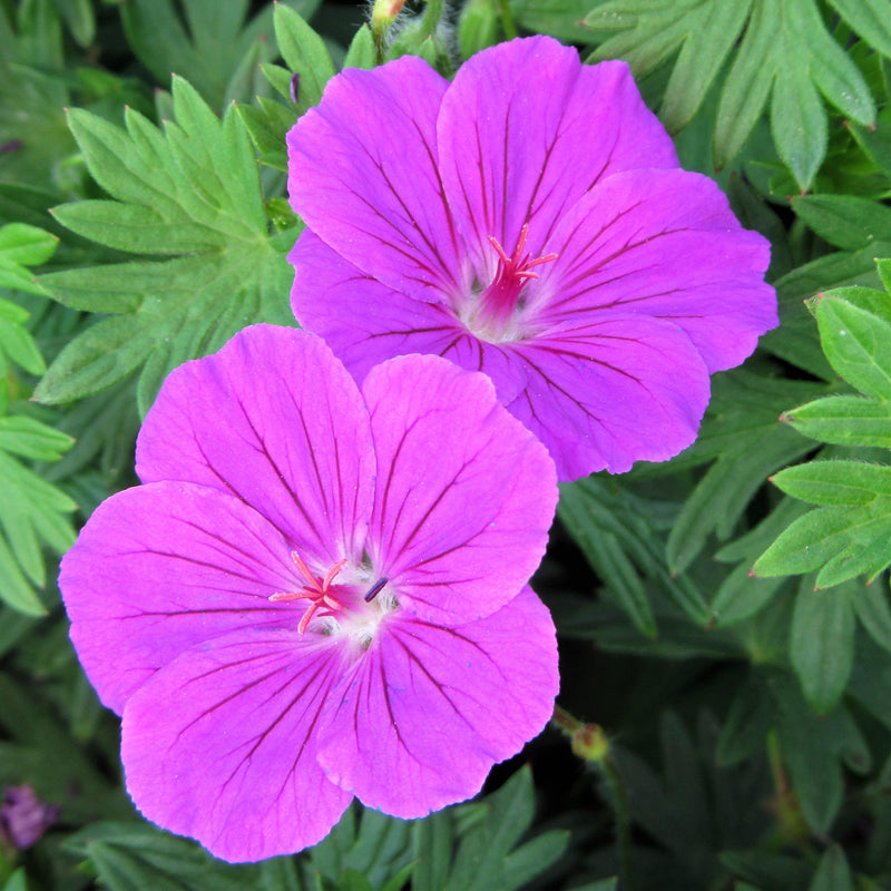 Geranium (Perennial) Tiny Monster