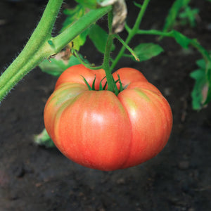 brandywine tomato on vine