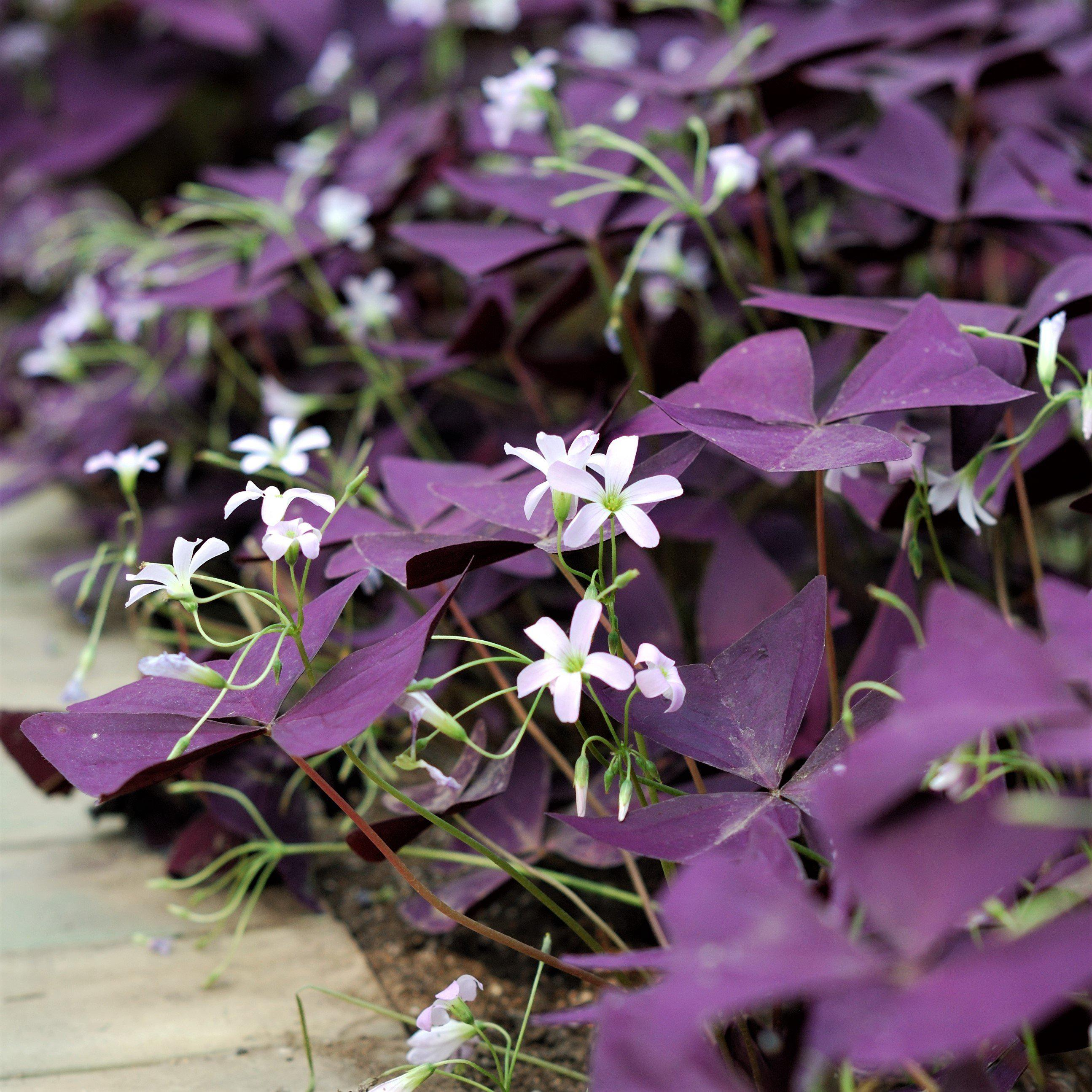 Oxalis Triangularis and Regnelli Collection – Easy To Grow ... - photo#50