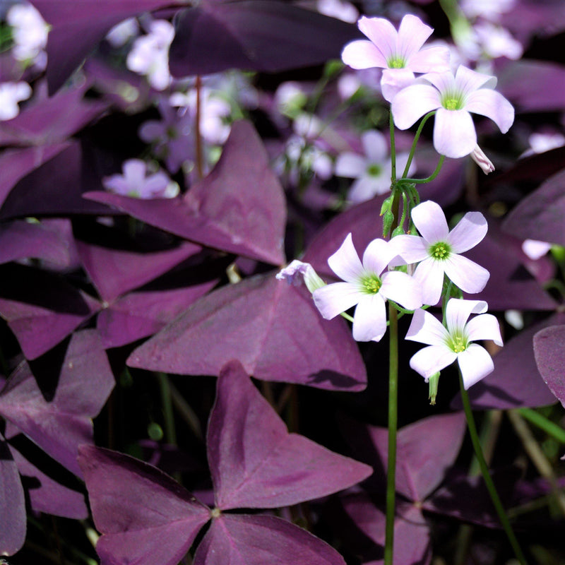 Close Up View of Group of Oxalis Triangularis