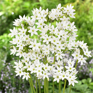 products/Triteleia_Hyacinthina.VP.jpg