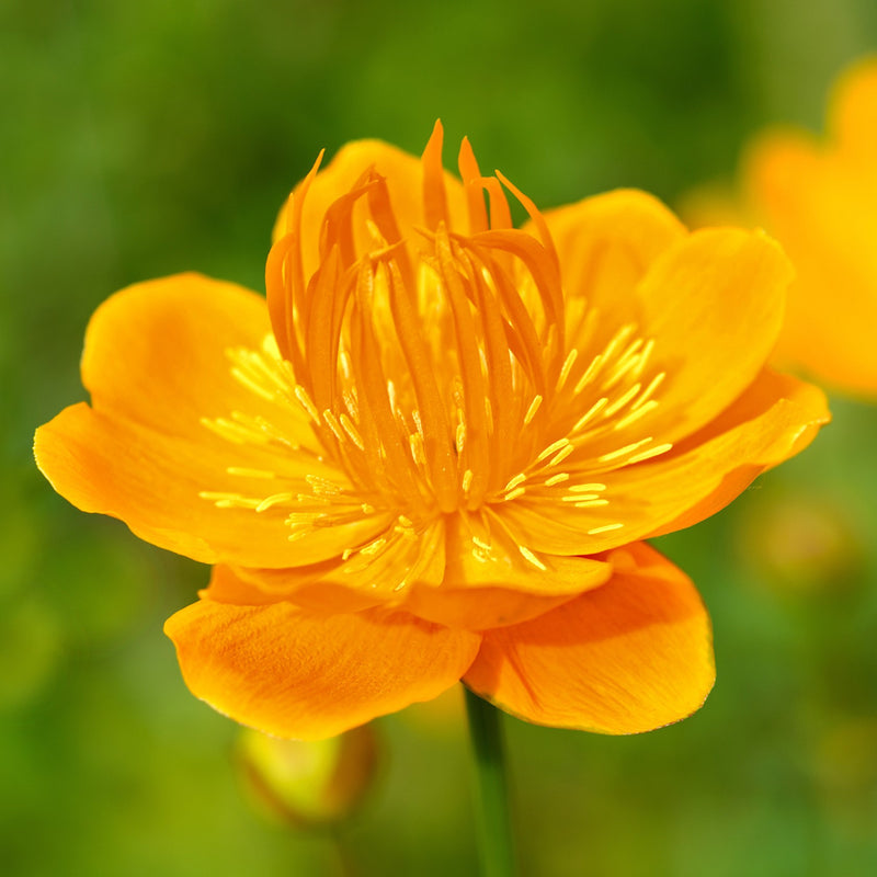 Trollius Chinensis - Golden Queen Flower