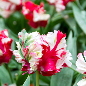 products/Tulip_Estella_Rijnveld_Parrot.DV_-_Copy.jpg