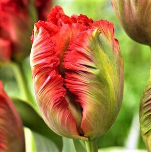 products/Tulip_Exotic_Parrot.VIS.jpg