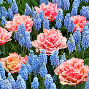 products/Tulip_Queensland_Muscari_Armeniacum.DV_2.JPG