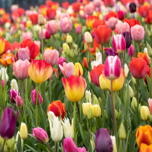 products/Tulip_Rainbow_Mix.SHUT_1.jpg
