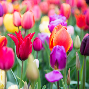 products/Tulip_Rainbow_Mix.SHUT_2_57277c17-6c74-400e-badb-8791f0dd733a.jpg