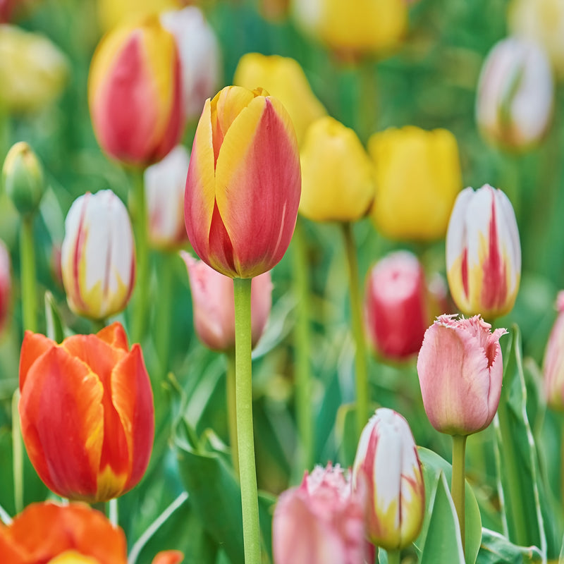 Tulip Rainbow Mix 100