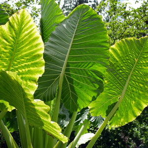 Thick Upright Elephant Ears stretch skywards in a form that looks like it came straight out of a tropical jungle