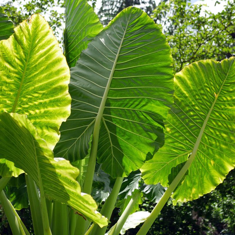Alocasia Upright Elephant Ear