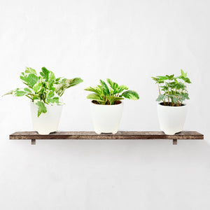 Variegated Trio Houseplant Collection
