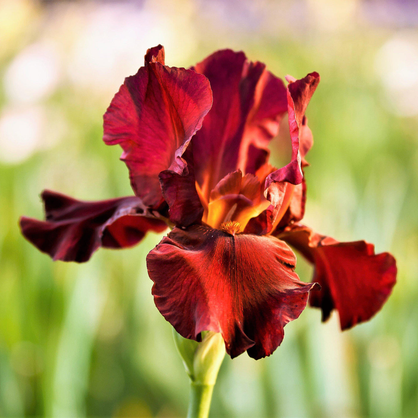 Red Reblooming Bearded Iris War Chief Rhizome For Sale Easy To