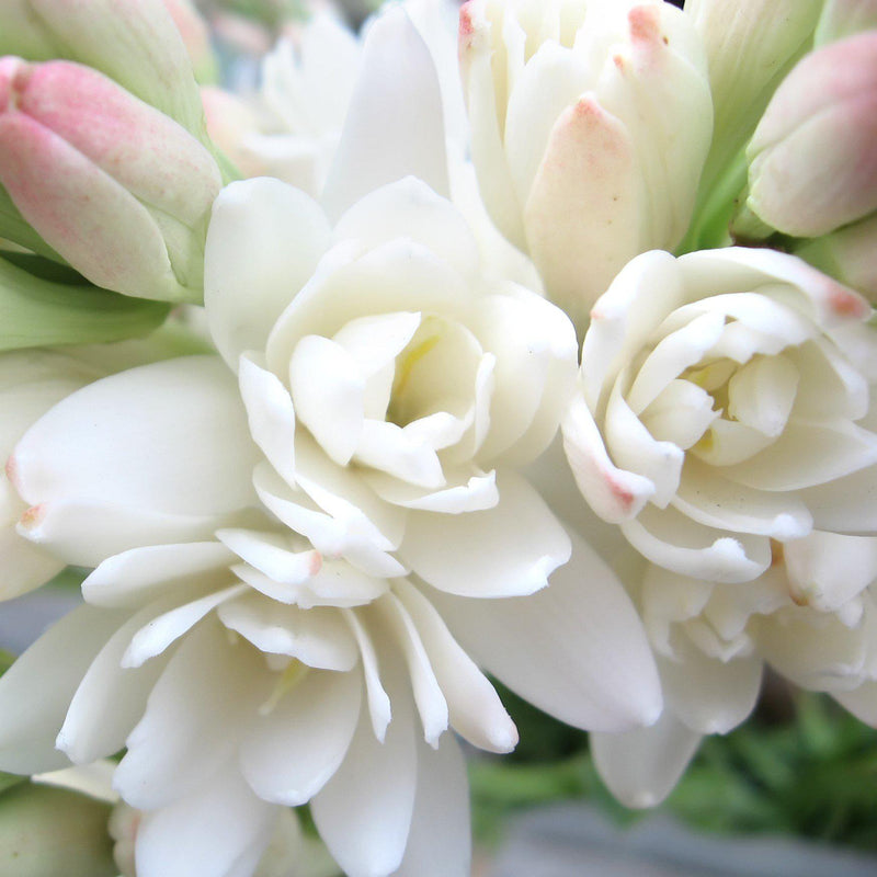 Close Up Blooming Double Flower Tuberose